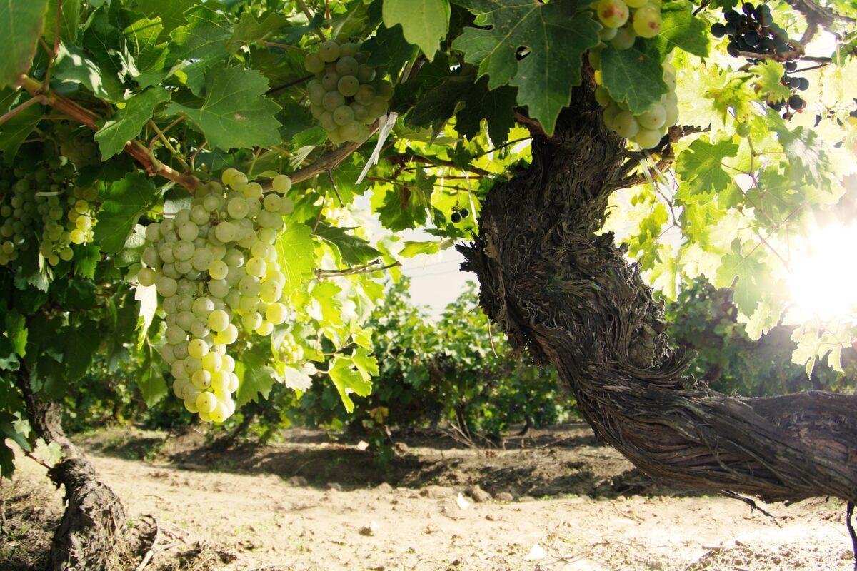 """Murfatlar – Turcul generos, Soare haiducul şi """"vinul vinurilor"""""""