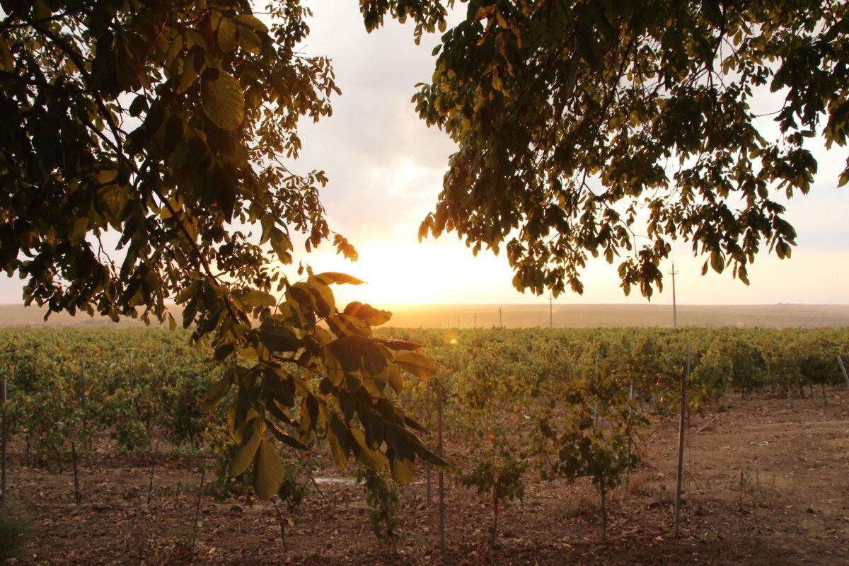 Murfatlar – Să bem un vin, ca pe vremea dacilor