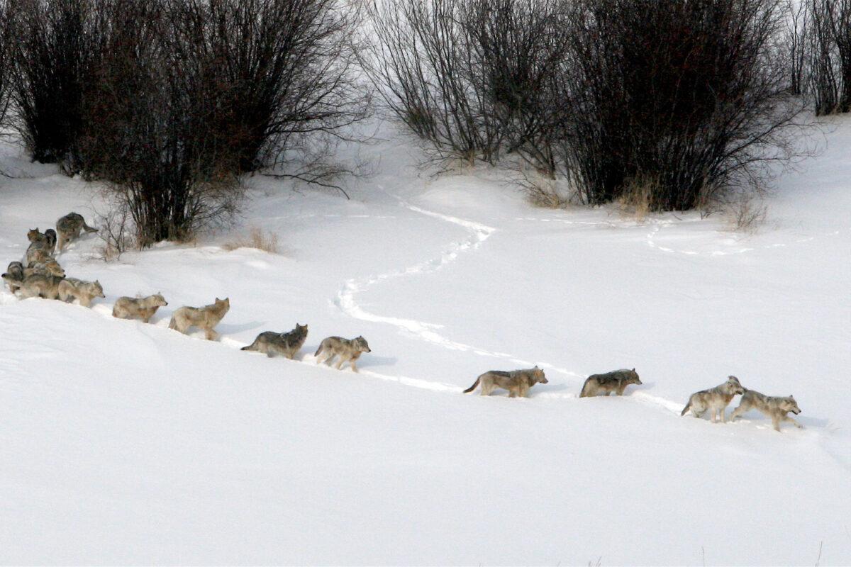Povestea Toboşarului şi Iarna Lupilor