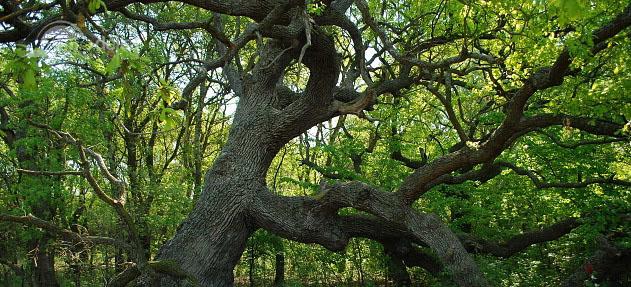 Stejarul Îngenuncheat – o legendă din Caraorman