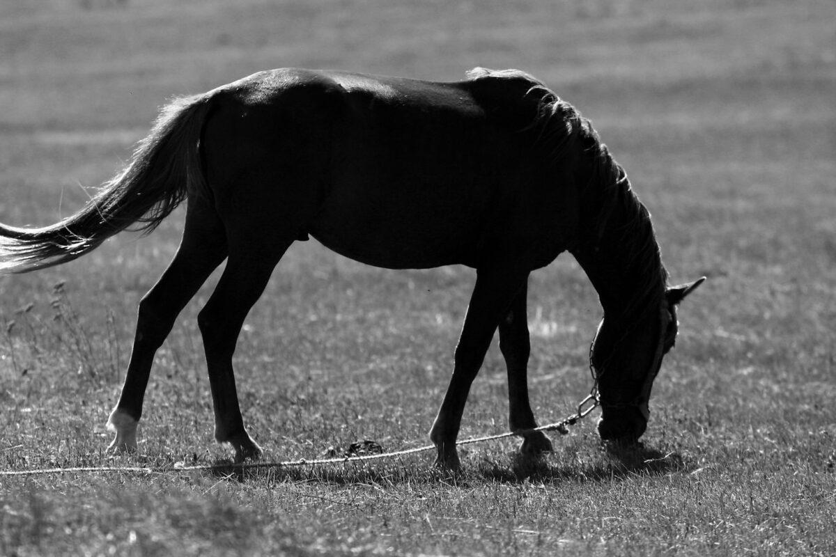 Karatai – Satul Mânzului Negru şi caii dobrogeni